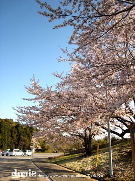 路旁都是櫻花樹