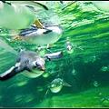 企鵝游泳的樣子
