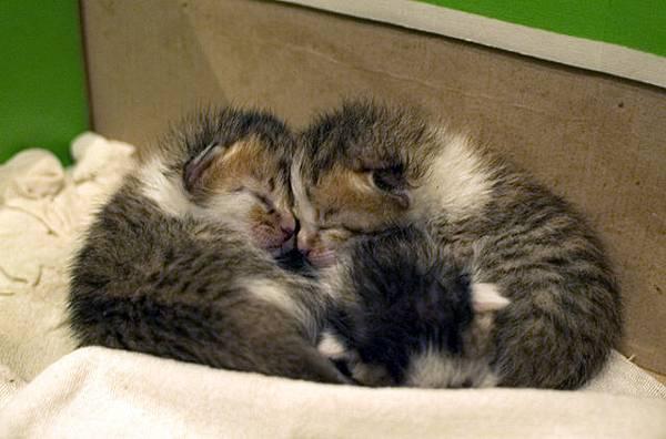 縮在一起未張眼的3隻小小貓