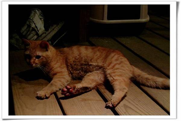 三隻腳的貓咪-橘子