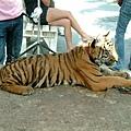 很可愛的小老虎
