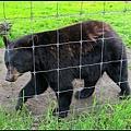 應該領了不少薪水的黑熊