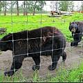 二隻熊在柵欄前走來走去供遊客拍照