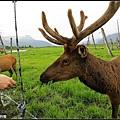 這隻鹿看見有人手上拿了一大把草就走過來吃了