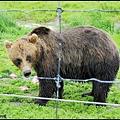 棕熊進食中