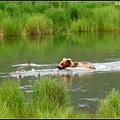 棕熊跑去趕鴨子