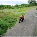 木棧道下有隻熊經過