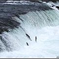 很多鮭魚奮力的迴流