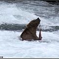 棕熊只吃皮和部分魚肉,好奢侈~