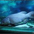 至少150公分長的大魚