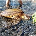 下水前在岸邊遇到海龜Michael~
