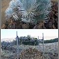 保育類植物silverswords