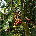 此處出產夏威夷知名Kona Coffee