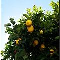 旅伴的友人家有棟超大檸檬樹
