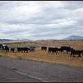 路途上遇到牛