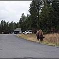 路邊就有bison野牛