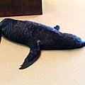 可愛的海狗