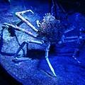 蜘蛛蟹好大隻啊
