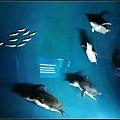 小企鵝只有35公分左右高~一群群排隊上岸好可愛喔~