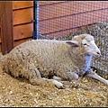 米蘭諾羊剃毛前