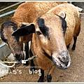 巴貝多黑肚綿羊