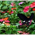 大紅斑鳯蝶