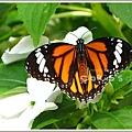 黑脈樺斑蝶