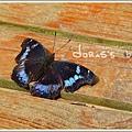 雌紅紫蛺蝶