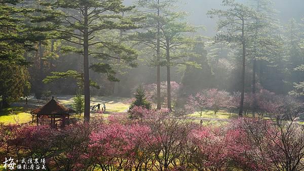 武陵農場紅梅花
