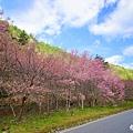 20140222武陵農場櫻花