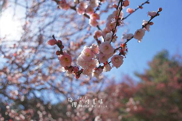 武陵紅白梅山櫻花2015