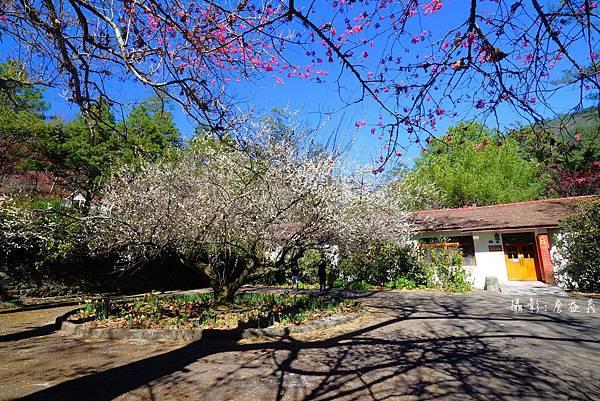 武陵農場紅白梅花山櫻花