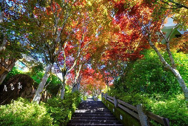太平山紫葉槭2015