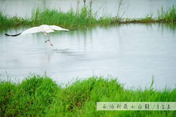 金山清水濕地西伯利亞小白鶴
