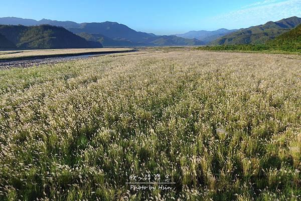 蘭陽溪甜根子草 不是芒花