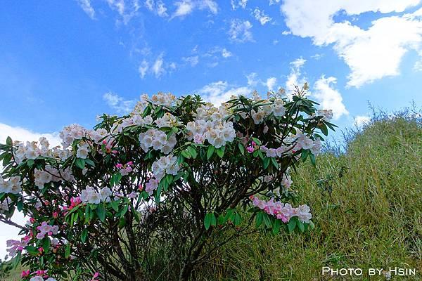 合歡東峰杜鵑花