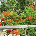 43.路樹上美麗的紅花(火焰木).JPG