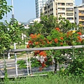 42.腳踏車步道一隅美麗的路樹.JPG
