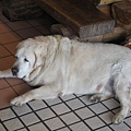 據說是被遊客養肥的狗.JPG