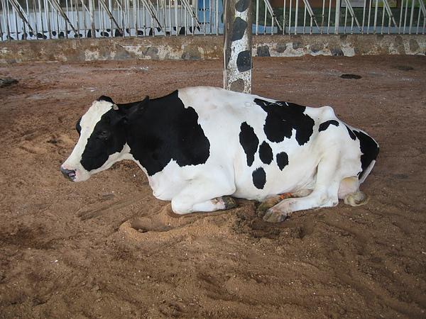 牛總是前腳先跪著.JPG