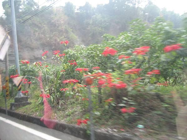 沿路開滿美麗、不知名的紅花.JPG