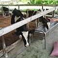 好奇怪,沒人餵就不吃,牛也被被寵壞了嗎.JPG