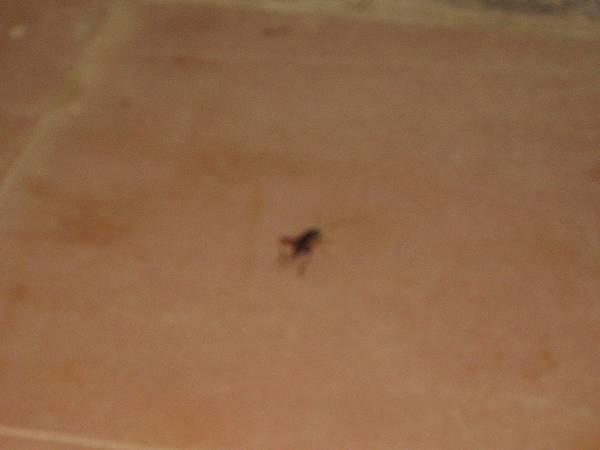 郊外常得見到的蟋蟀.JPG