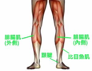 腓腸肌位置圖.png