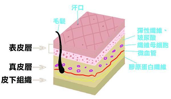 肌膚層圖.jpg