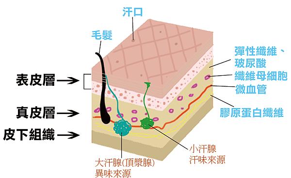 肌膚層圖+大小汗腺.png