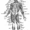人體全身肌肉圖(正面)__maso1