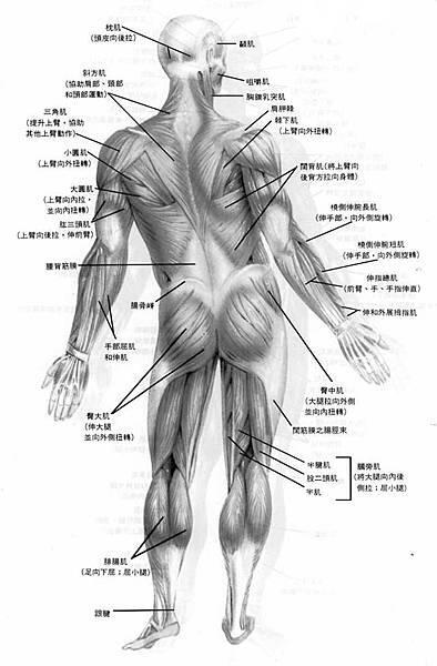 人體全身肌肉圖(背面)__maso2