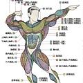 肌肉解剖圖 - 正面肌肉解剖圖