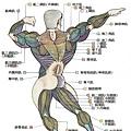 肌肉解剖圖 - 背面肌肉解剖圖